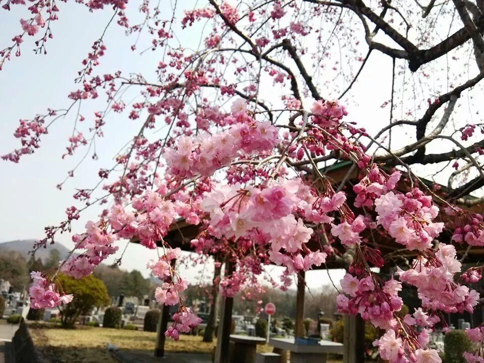 日光樹木葬桜